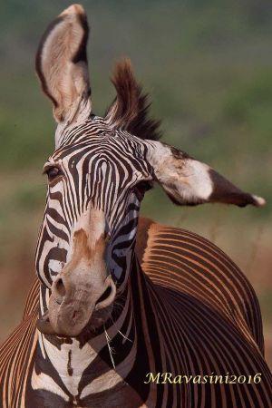 zebra-di-grevy-testa-IMG_7107.jpg