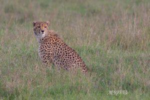ghepardo-olpejeta-femmina-.jpg