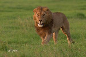 leone--maschio-1-OlPejeta-.jpg