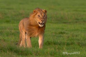 leone-Maschio-2-OlPejeta-.jpg