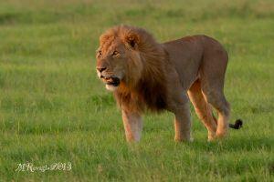 leone-maschio-3-OlPejeta-.jpg