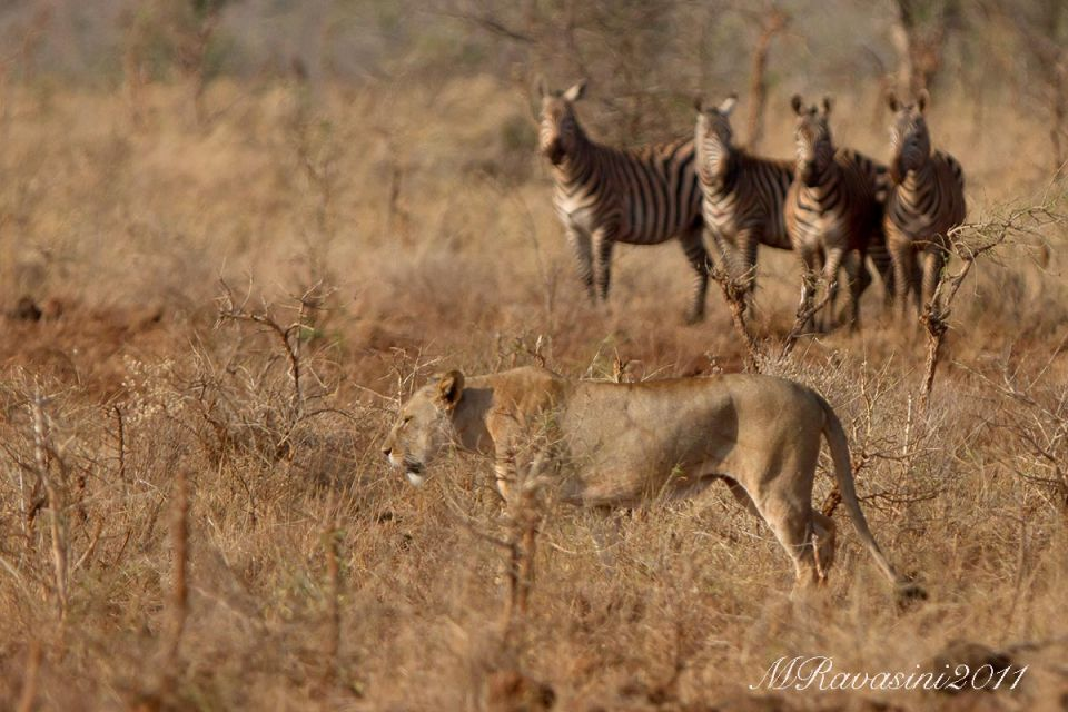 Lioness and zebras.jpg