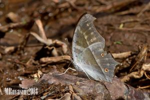 common-mother-of-pearl-Salamis-parhassus-IMG_8103.jpg