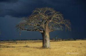 Baobab-Taranghire-NP-Tanzania-.jpg