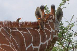 bufaghe-e-giraffa-IMG_8860.jpg