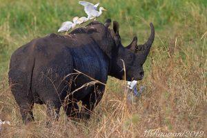c15-rhino-2-IMG_0244.jpg