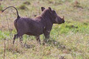 c27-warthog-IMG_7674.jpg