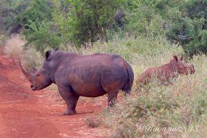 c93-rhino-and-cub-IMG_2081.jpg