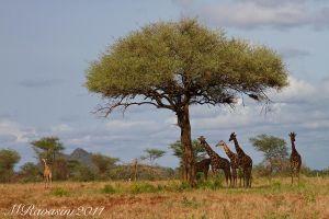 c98-giraffes-IMG_2850.jpg