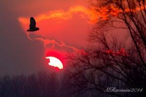 gufo-di-palude-tramonto-IMG_4234.jpg